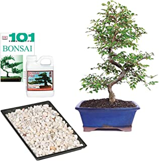 Brussel's Bonsai Live Chinese Elm Outdoor Bonsai Tree - 8 Years Old 8