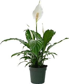LiveTrends Design 4 inch Spathiphyllum, Green