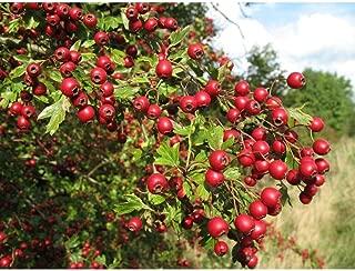 20 Seeds English Hawthorn Crataegus Laevigata Tree Seeds TS2