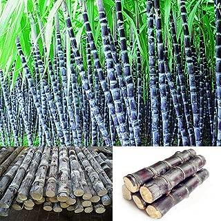 discountstore145 100Pcs Sugarcane Seeds Delicious Juicy Fruit Home Garden Yard Farm Organic Plant - Sugarcane Seeds