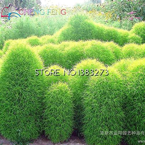 Semences à gazon Perennial 100 Graines Herbe Buisson Ardent Kochia Scoparia Seeds Mini Garden ornemental Easy Grow Pour Ferme Planteur Pots
