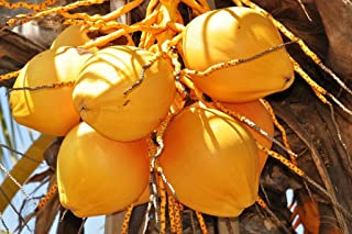 Cocos Nucifera COCONUT (YELLOW) exotic plant palm tree ready to pot ,1 live SEED