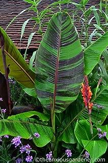 Musa Sikkimensis Banana Plant Tree Tropical Live Plant Hardy