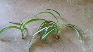 2 Very Rare Curly Bonnie Spider Plant Cuttings That Include Variegated and Green