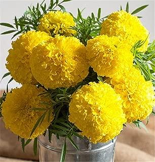 Hybrid Marigold Golden Yellow Giant Flower 100 Seeds