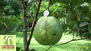 Liveseeds -Giant 1kg Rare World Biggest guava sweet white/Yellow Finest 5 Seeds