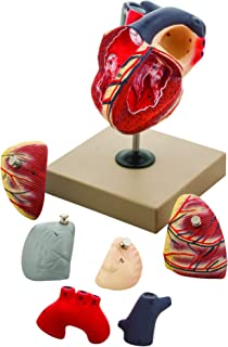 EISCO Human Heart Model, 7 Parts