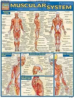 kinesiology muscle chart