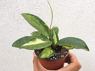 Best wax plant hoya carnosa variegata Reviews
