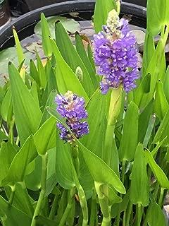 Best blue pickerel plant Reviews