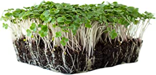 Red Russian Kale Seeds: 1 Lb - Non-GMO Vegetable Garden & Microgreens Growing Seeds - Micro Leafy Greens