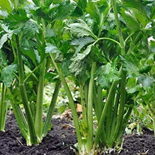 16k Seeds or 1/4 OZ : Tall Utah 52/70 Celery Seed, Non-GMO, Heirloom, Variety Sizes,