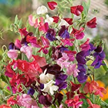 Kings Seeds - Sweet Pea Old Fashioned - 30 Seeds
