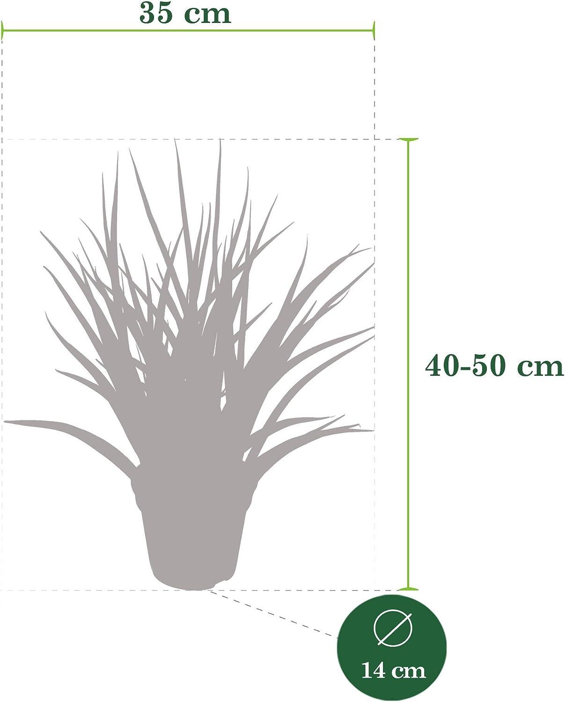 SansevieriaFernwood Punk Altezza 40-50 cm Piante per interni che purificano laria Pianta Serpente per Interni Vaso /Ø 14 cm