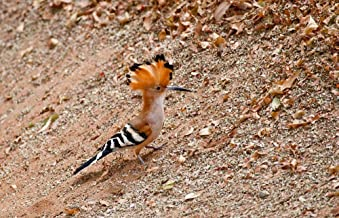 Madagascar. Madagascar Hoopoe, Endemic Bird by Charles Sleicher/Danita Delimont Art Print, 34 x 22 inches