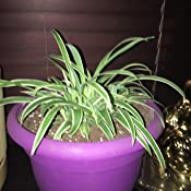 None Varigated Leaves Details about  /Spider Plant In Plant Bag Posted In Box Fully GrEen
