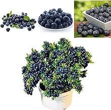 estrenar! PRODUCTOS HOO 200 semillas de la fruta gigante de ar/ándanos americanos de germinaci/ón del 95/%