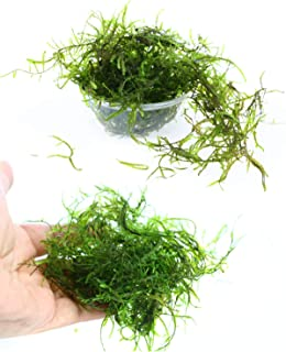 Live Aquarium Plants JAVA Moss for Freshwater Fish Tank Decorations use Green Moss Create a Moss Wall or Moss Carpet and Moss Driftwood Decor - Soft and Comforting for Fish