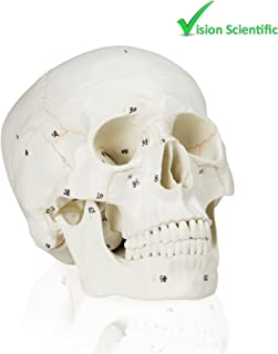 Vision Scientific VAL221 Medical Numbered Human Skull-3 Part | Life Size | from Real Human Skull, Detail Hand Painted Numbering | Sectioned Skullcap | Suture Lines & Full Dentition | Labelled Diagram