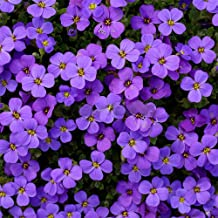 Chicoco Seeds, Flower Seeds, Garden Decorations - Aubrieta Seed220Pcs Aubrieta Seeds Linaceae Flower Seeds Purple Garden Ground Plant Decor