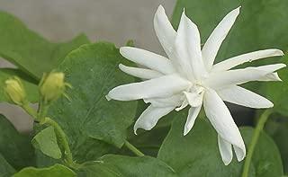 jasminum sambac belle of india