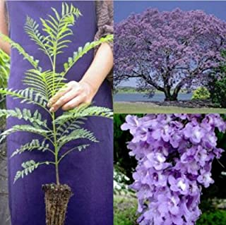 Best red jacaranda tree for sale Reviews