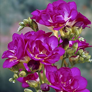 Van Zyverden Freesias Purple Rain Set of 25 Bulbs