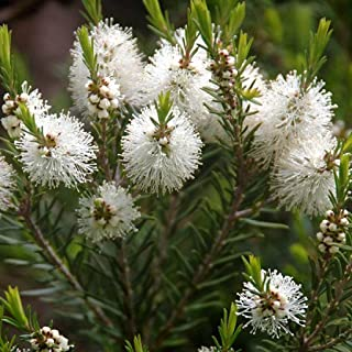 Australian Tea Tree Seeds (Melaleuca alternifolia) 50+ Medicinal Herb Seeds in FROZEN SEED CAPSULES for the Gardener & Rare Seeds Collector - Plant Seeds Now or Save Seeds for Years