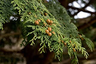 HOT - HINOKI Cypress - 50 Seeds - Chamaecyparis obtusa - Bonsai Japanese Cypres