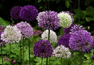 Wild About Allium Mix 8 Bulbs - Deer Resistant - Easy! - Topsize Bulbs