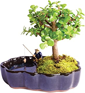 Brussel's Live Dwarf Jade Indoor Bonsai Tree in Zen Reflections Pot - 3 Years Old; 8