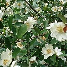 100 PC Magnolia Michelia Tree Seeds Rare Flowers Alba Aromatic Plant in Garden