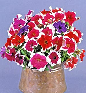 Cutdek 200+Petunia Picotee Mix Flower Seeds Hanging Baskets Beds Window Box Containers