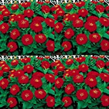 Zinnia Dreamland Scarlet Annual Flowers Seeds 100 Pcs an