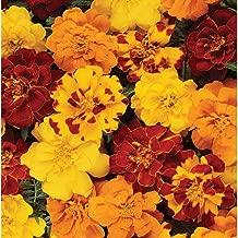 marigold durango outback mix