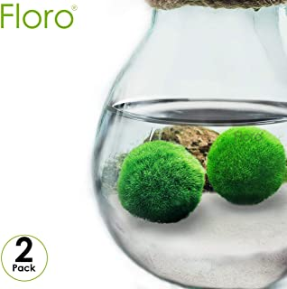 FLORO Large Marimo Moss Balls, Low-Maintenance, Easy to Grow Aquatic Plants, Pair of Vibrant Green, Naturally Spherical, Excellent for Both Novice and Experienced Gardeners