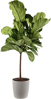 Costa Farms Live Ficus Lyrata, Fiddle-Leaf Fig, Indoor Tree, 4-Feet Tall, Ships in Gray Planter, Fresh From Our Farm