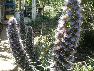 P025X01. 1 Plant of Echium fastuosum Pride of Madeira