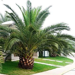 Pineapple Palm 5 Seeds Phoenix Canariensis Ornamental Tree Bonsai