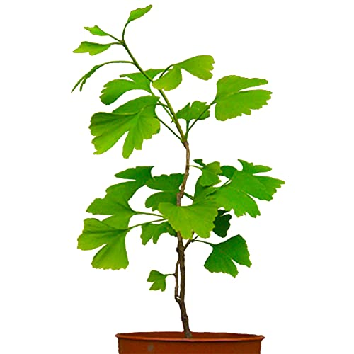 Gartendeko Roststecker Gingko XXL Herbstdeko