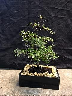 Best dwarf olive bonsai Reviews