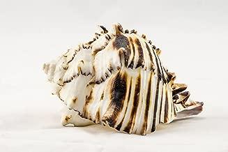 Black Murex   Black Murex Sea Shells   5