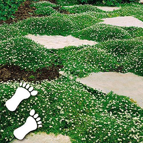 Qulista Samenhaus - Sternmoos Ziergras Saatgut Rasensamen immergrün Grassamen Teppich Bodendecker Polsterstaude robust winterhart mehrjährig