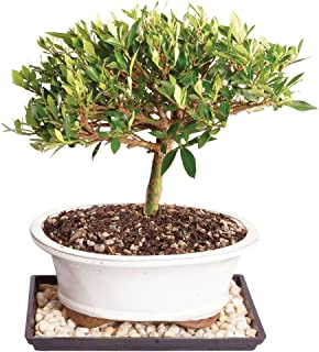 Brussel's Live Gardenia Outdoor Bonsai Tree - 8 Years Old; 8