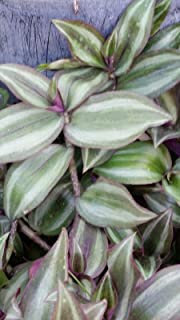 Wandering Jew ■ 20 ROOTED CUTTINGS ■