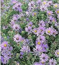 Aster Oblongifolius Aroma 250 Seeds JHZ01