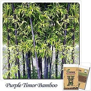 Best timor bambusa lako purple Reviews