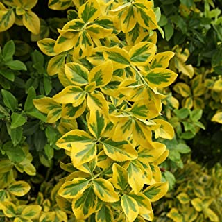 Cottage Hill Euonymus 'Golden' -2 Piece Live Plant, Green-Yellow Foliage