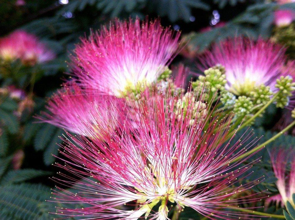 Albizia julibrissin 10pcs semillas de /Ã/¡rboles Semillas del paquete Bonsai Tic huelen semillas en macetas de interior para el jard/Ã/n de Por Farmerly