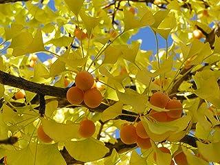 La herencia orgánica 5 PC / bolso de Ginkgo biloba Gingo biloba semillas de frutos secos Bonsái cultivadas a partir de sem...